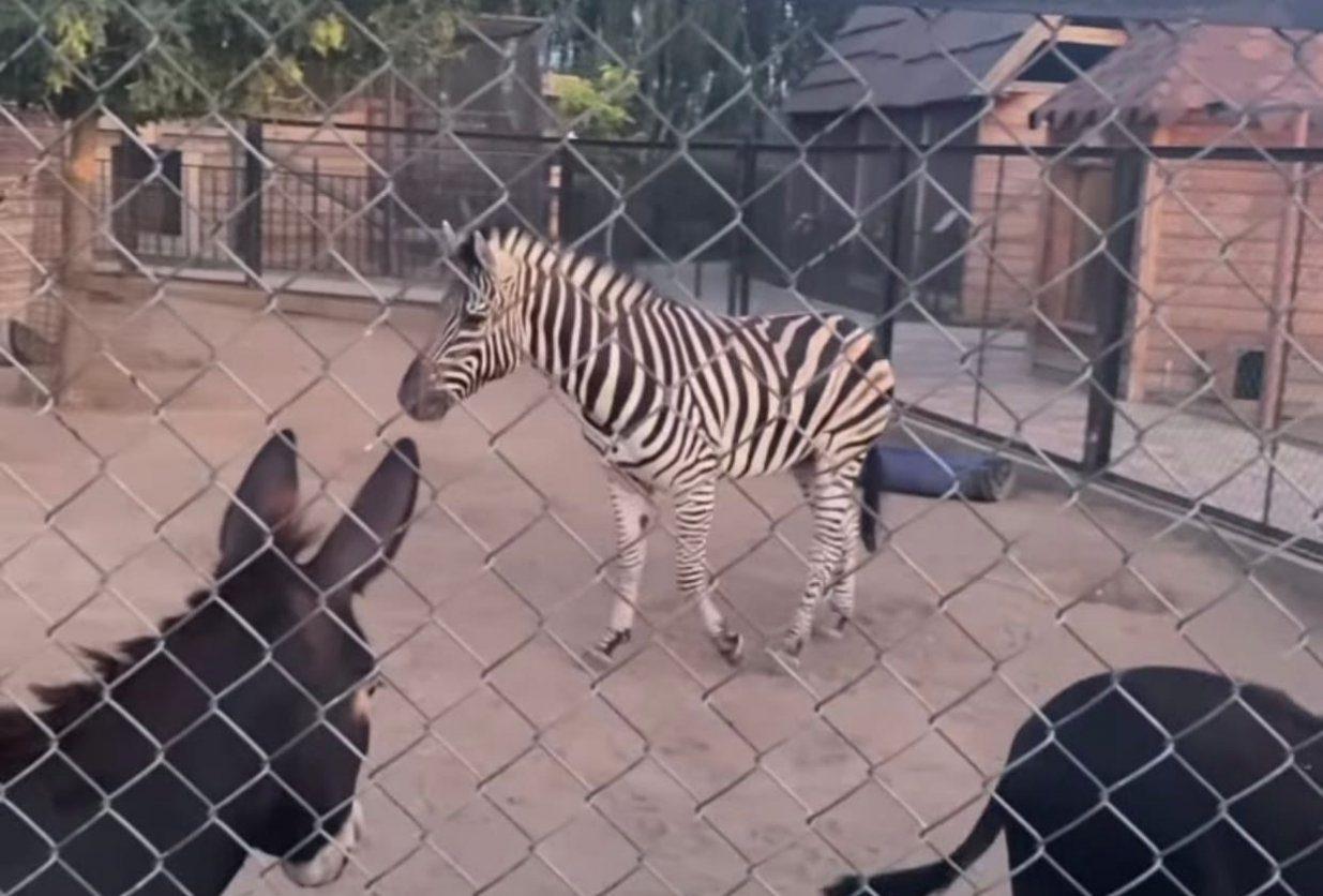 В астраханском зоопарке появилась зебра Матрос