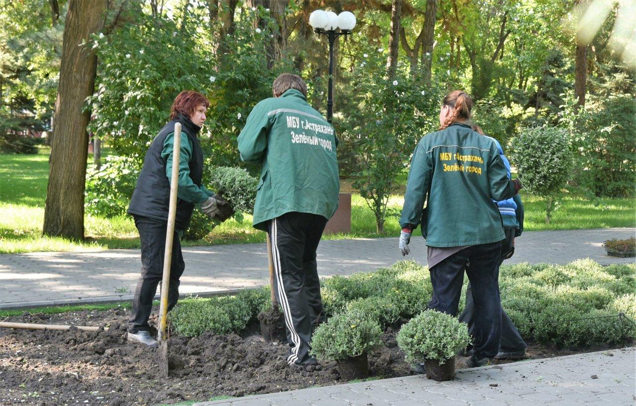 На улицах Астрахани высадят около тысячи хризантем
