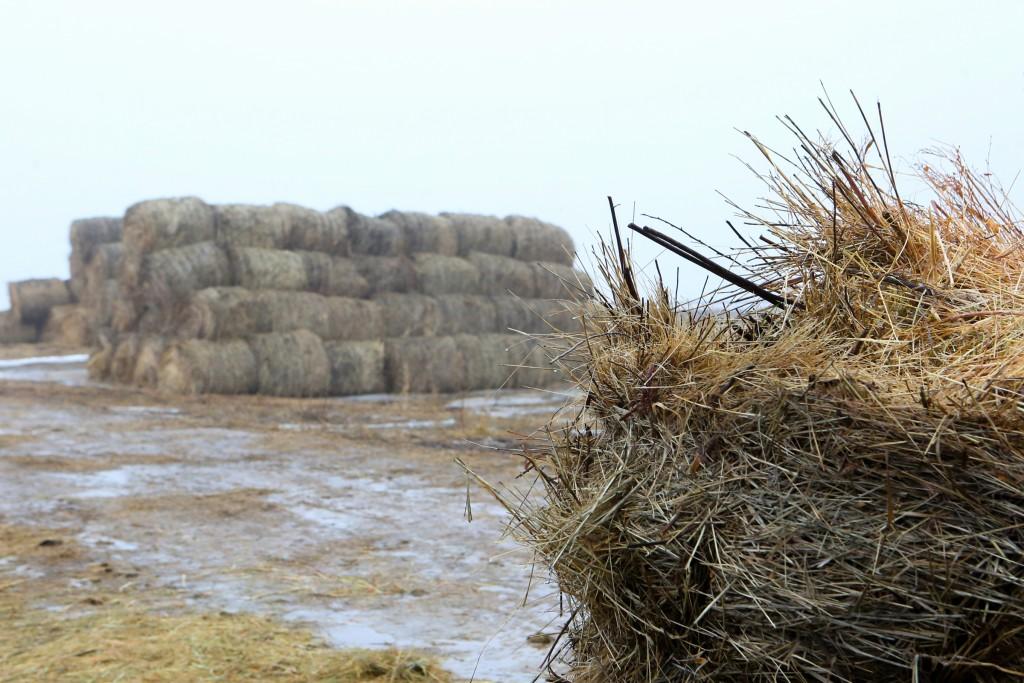 Астраханские фермеры заготовили почти миллион тонн сена