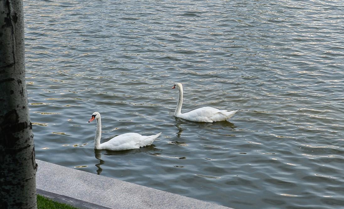 Астраханские лебеди отправились зимовать